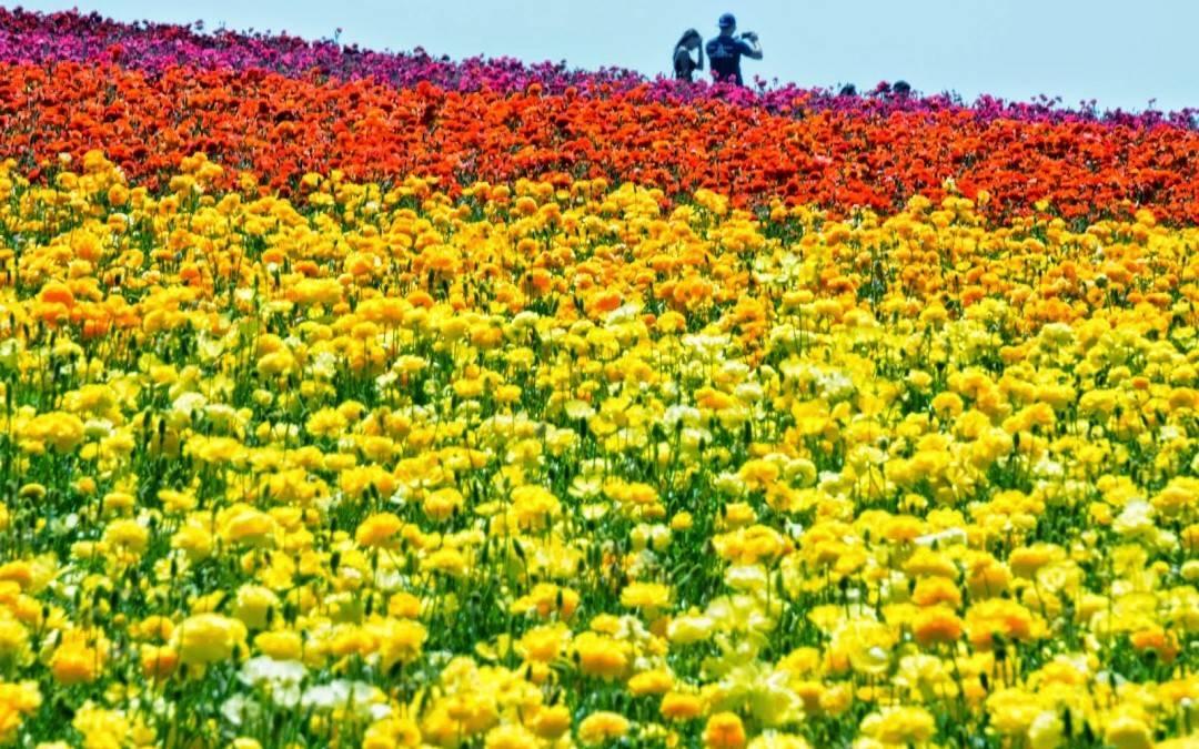 The Carlsbad Flower Fields – Hiking Trail
