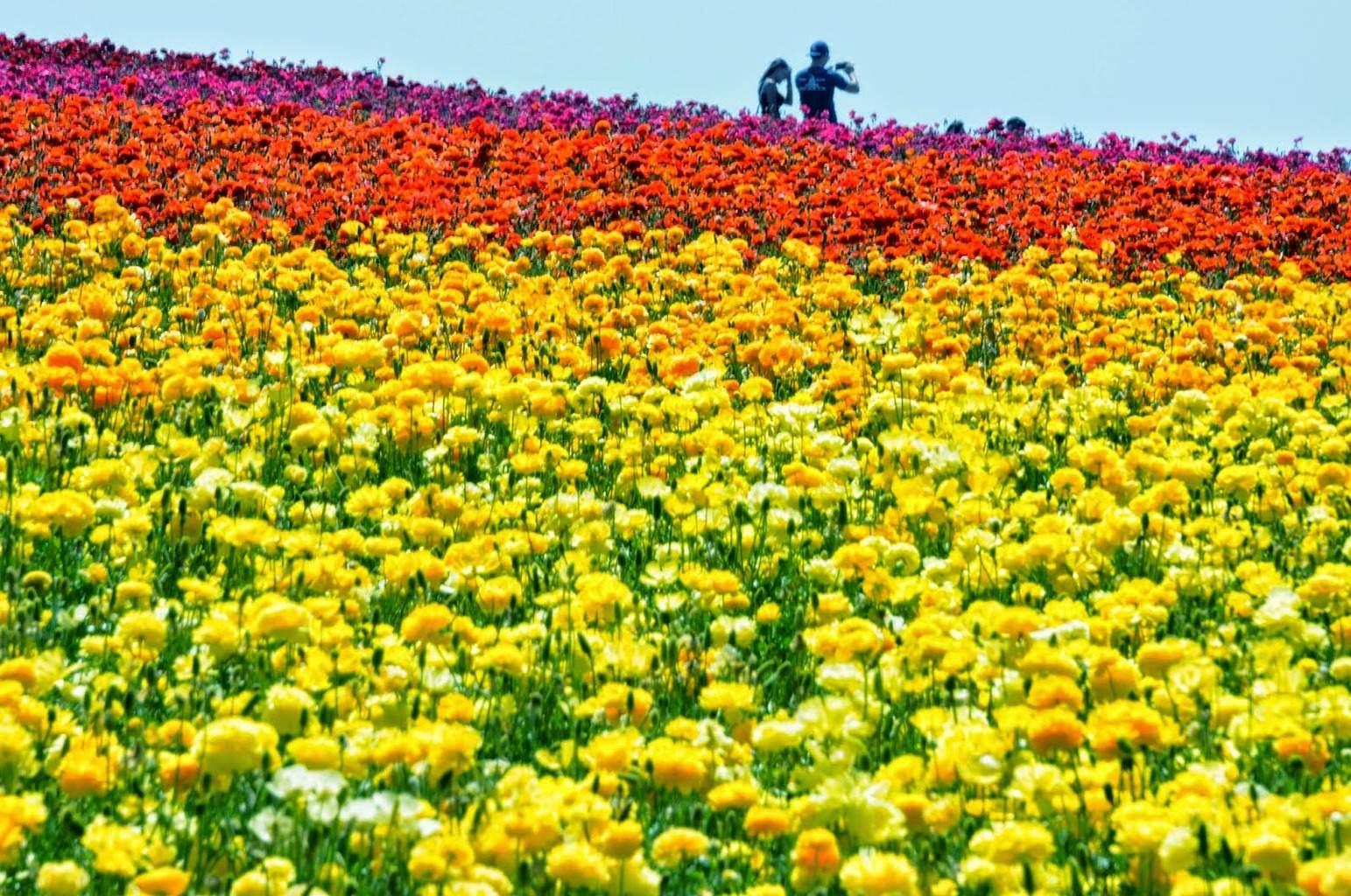 The Carlsbad Flower Fields Hiking Trail Go Hike It
