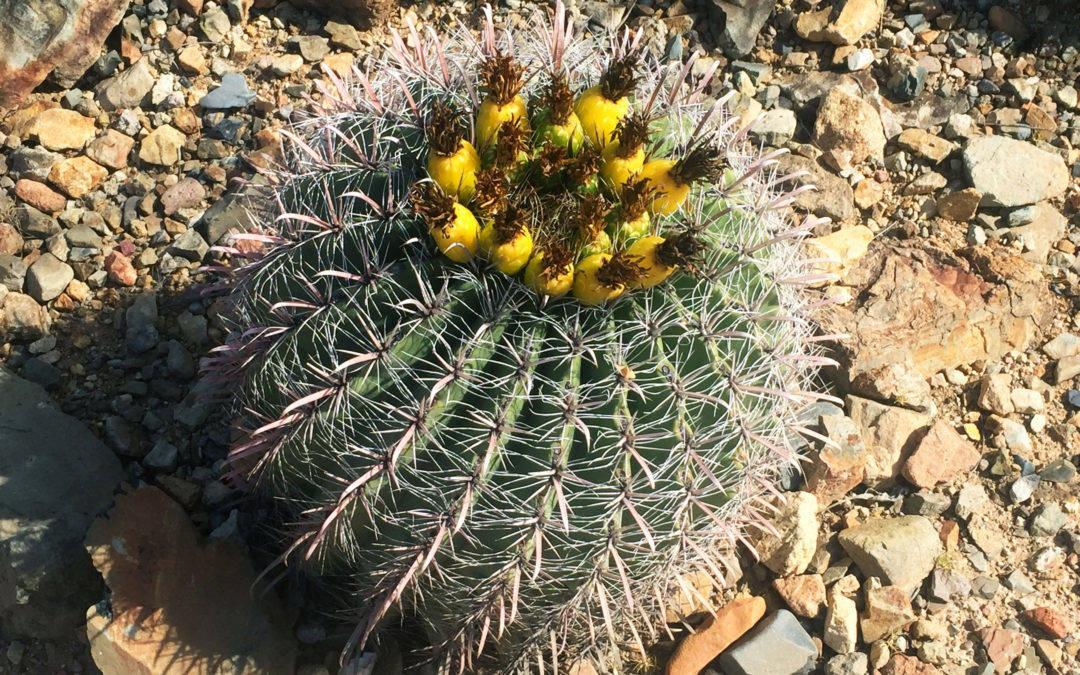 arizona hiking trail, Tucson hiking, arizona sonora living desert museum, desert hike, sonora hike, cactus hike, best arizona hiking trail