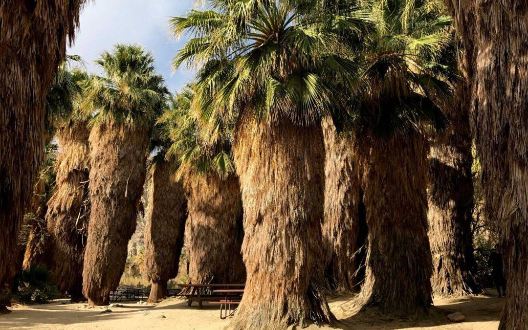 Coachella Valley Preserve | Palm Tree Oasis | McCallum Hiking Trail