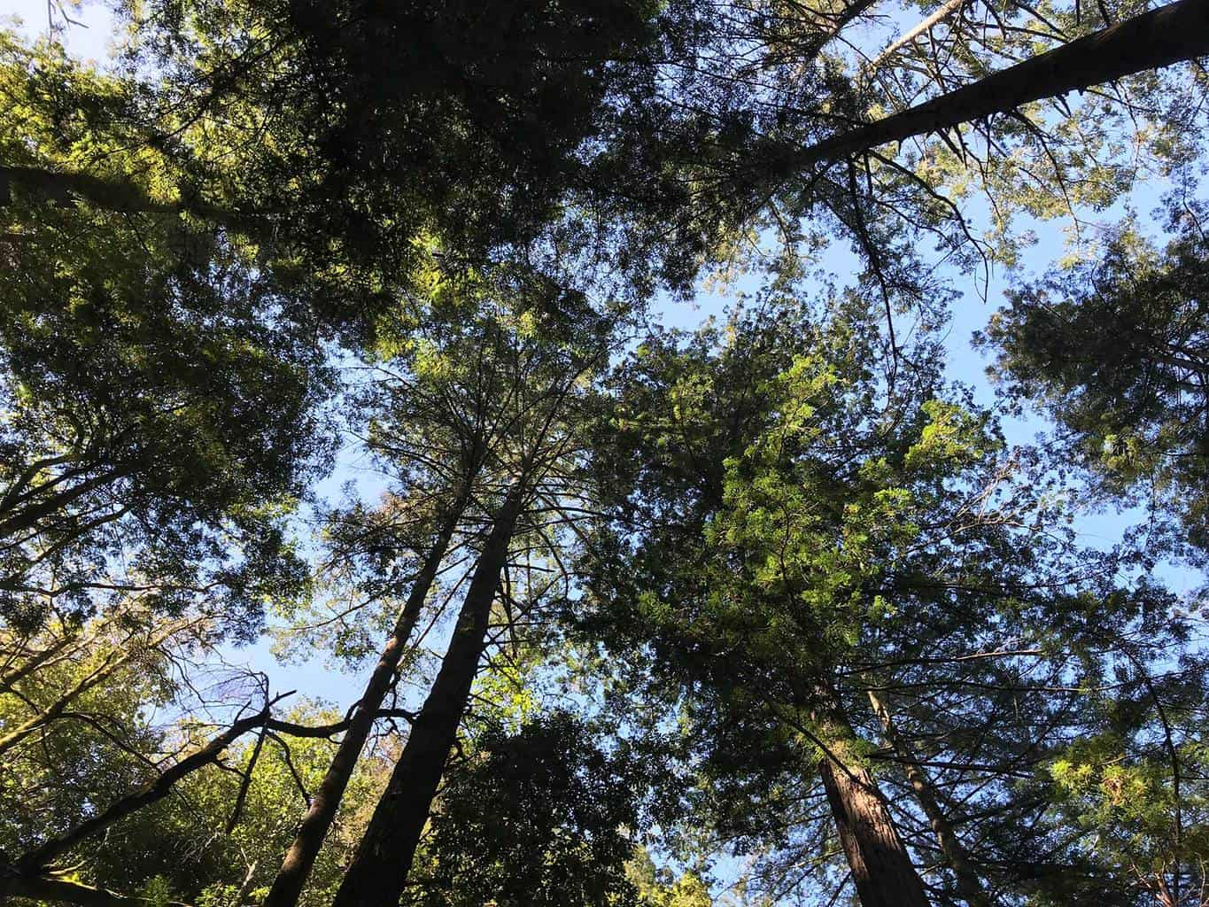 rincon-hiking-trail-santa-cruz-redwoods-hiking-trail-1